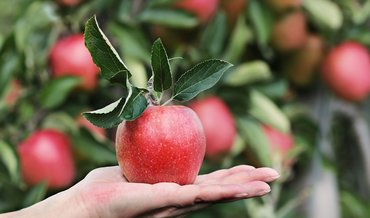 Ein Apfel wird angeboten